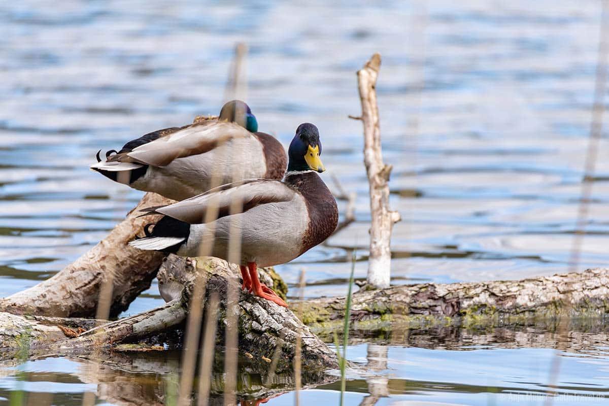 Enten gibt es viele an den Seen in Brandenburg