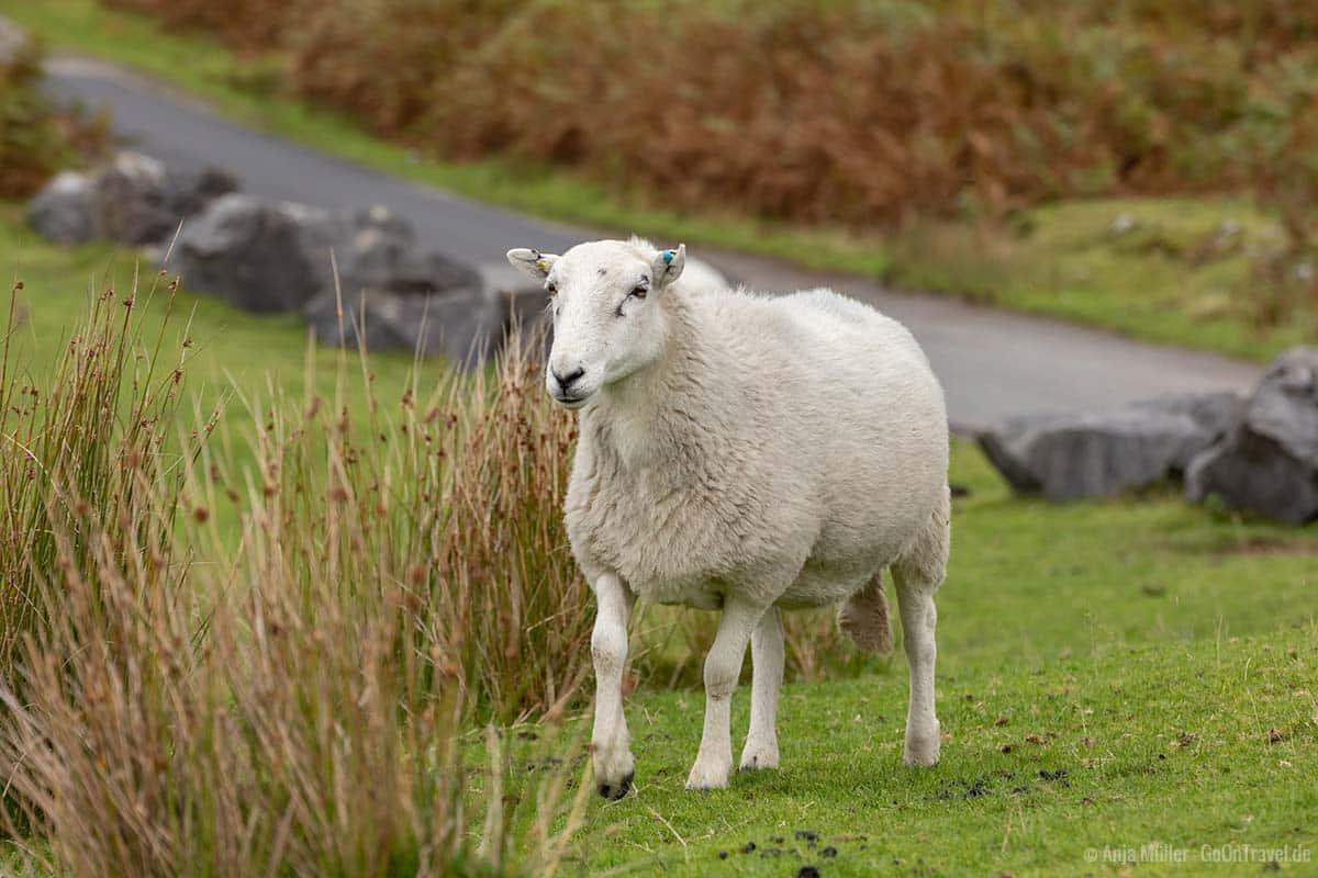 In Wales gibt es 9-12 Millionen Schafe