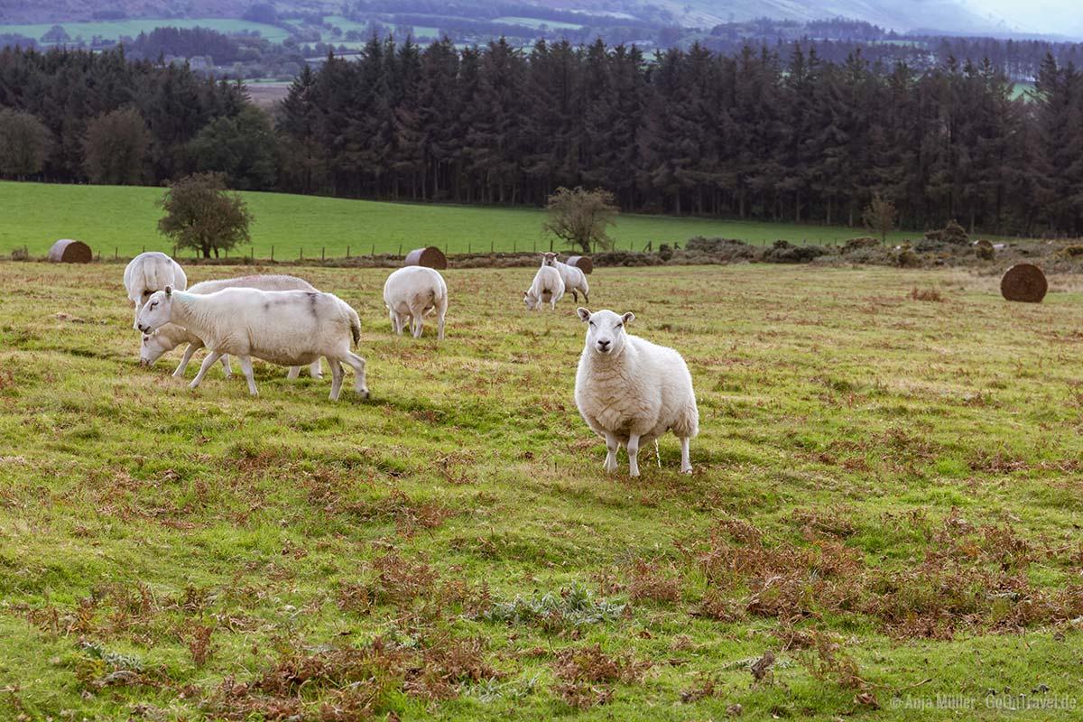 Noch mehr Schafe in Wales