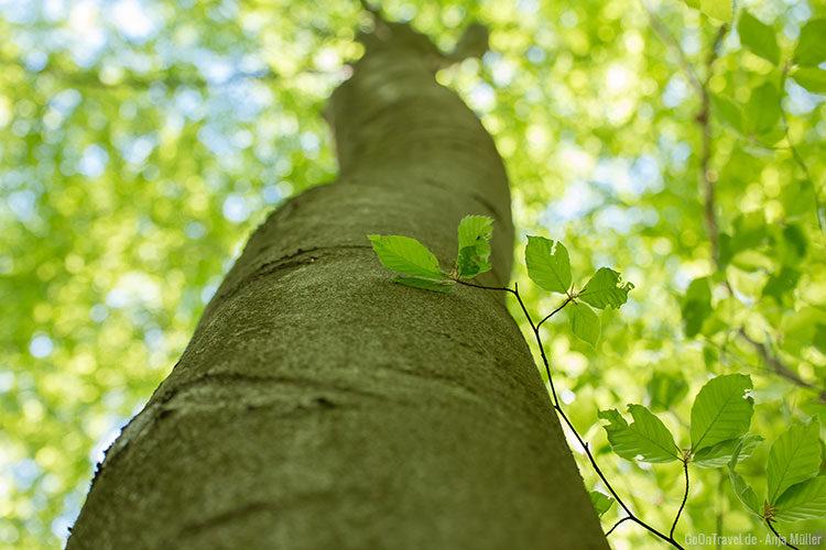 Ein Buchenbaum