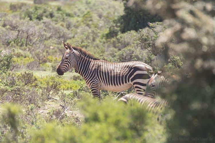 Ein Cape Mountain Zebra (Kap-Bergzebra) im De Hoop