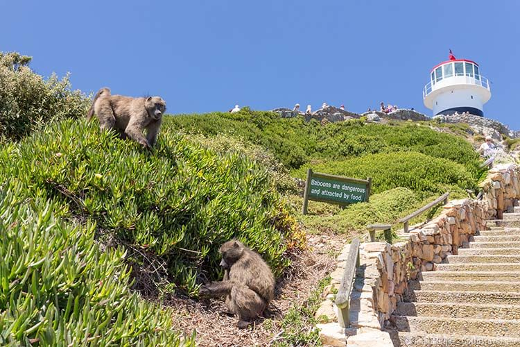 Baboons am Cape Point im Tafelberg National Park