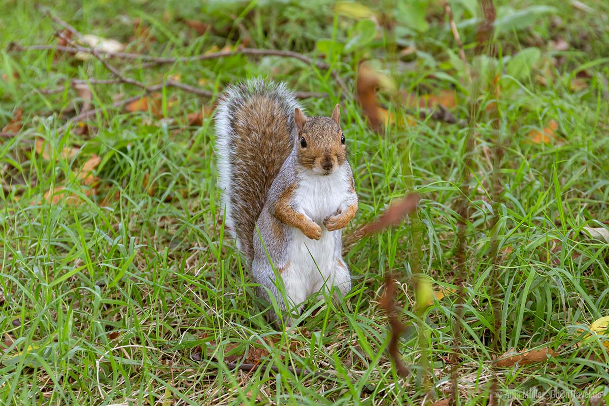 Eichhörnchen im Bute Park