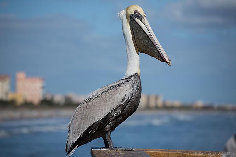 Ein Pelikan wartet auf den Fang