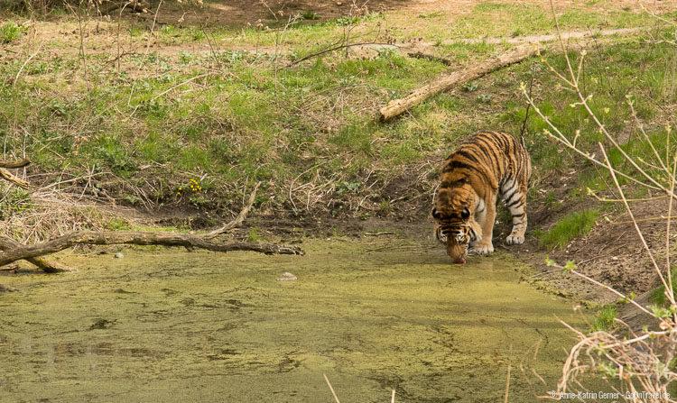 Tiger im Zoo Eberswalde