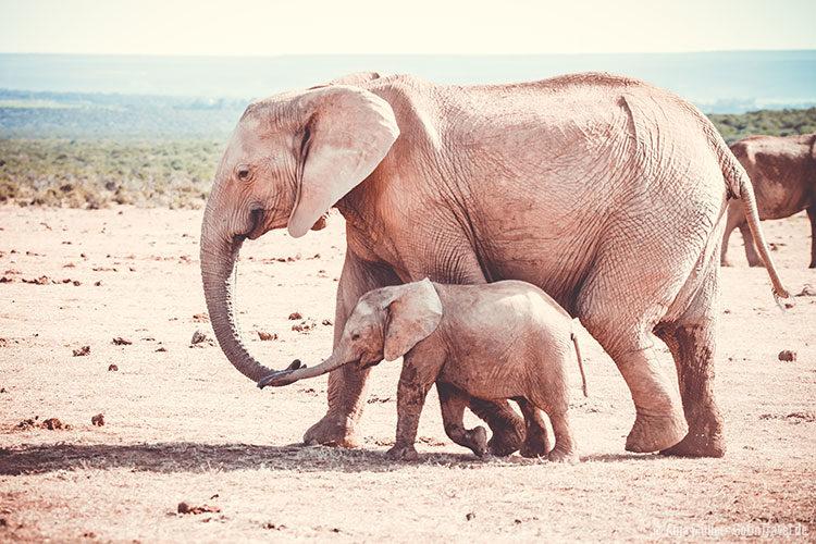 Eine Elefanten Mutter mit ihrem kleinen Baby im Addo Elephant National Park