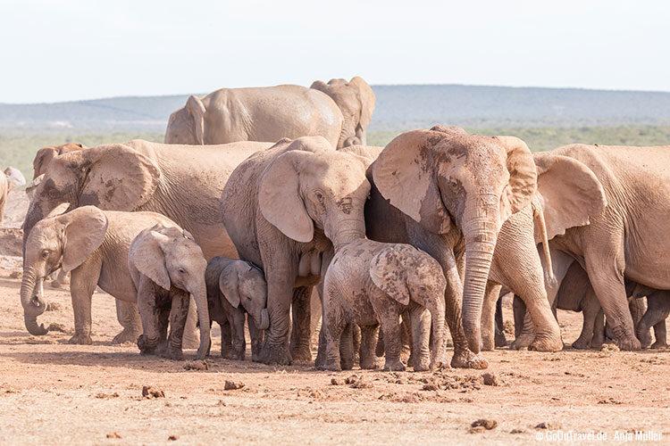 Ganz viele kleine Elefanten im Addo Elephant National Park
