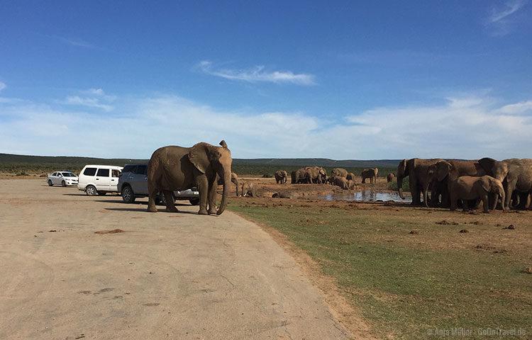 Ein Elefant parkt direkt neben Mietwagen im Addo Elefanten Nationalpark