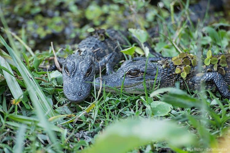 Sind die beiden Baby Alligatoren nicht niedlich?