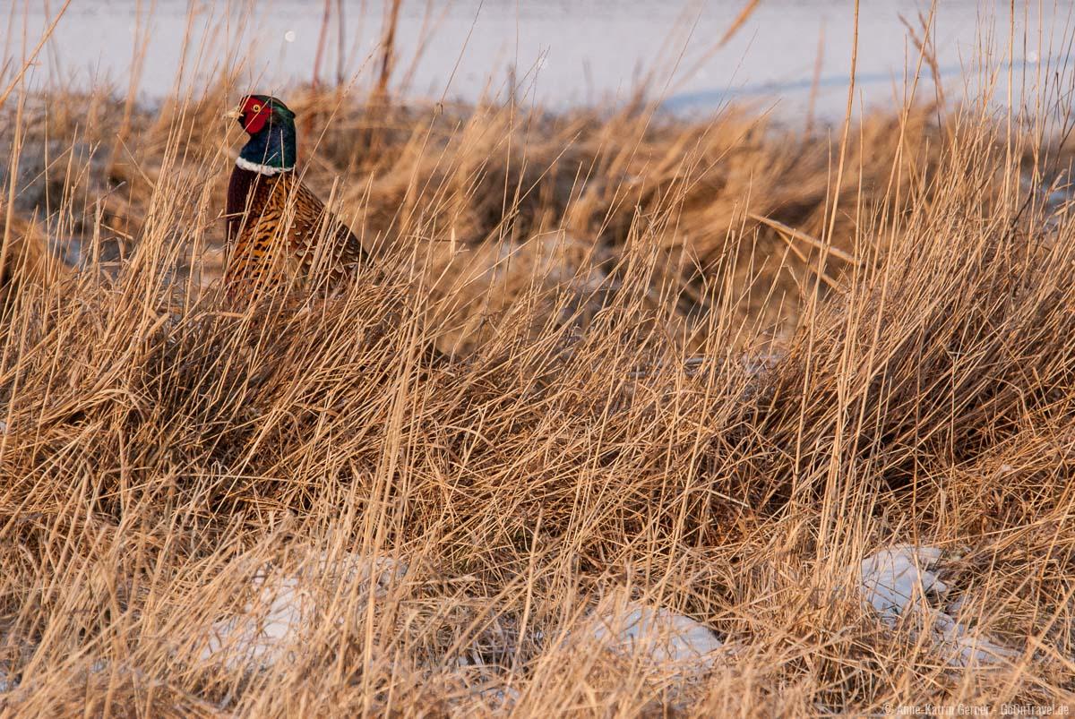 Tiere auf Sylt beobachten: Fasan versteckt im Dünengras am Strandübergang