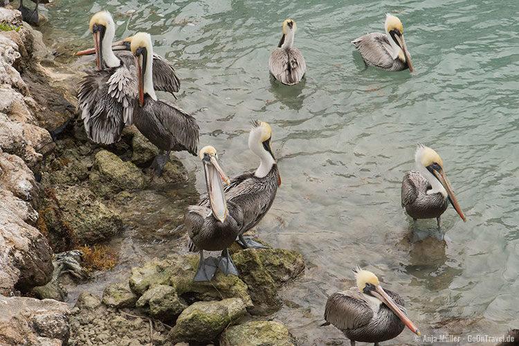 Pelikane auf der Insel Islamorada