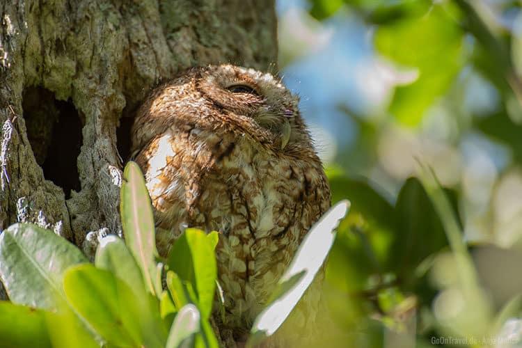 Eine kleine Eule im Baum