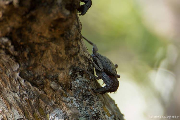 Eine Krabbe die am Baum hoch krabbelt