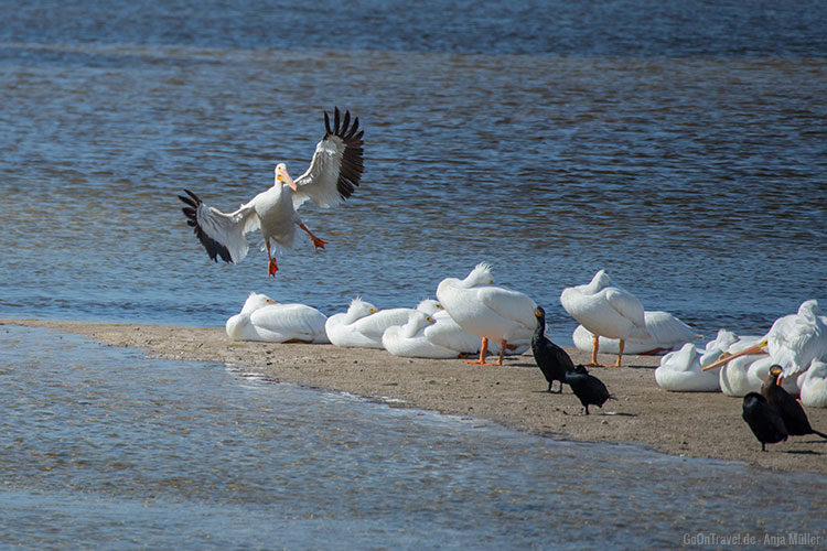 Ein weißer Pelikan im Anflug