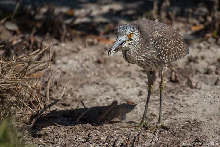 Ein Vogel der sich gerade eine kleine Krabbe geschnappt hat.