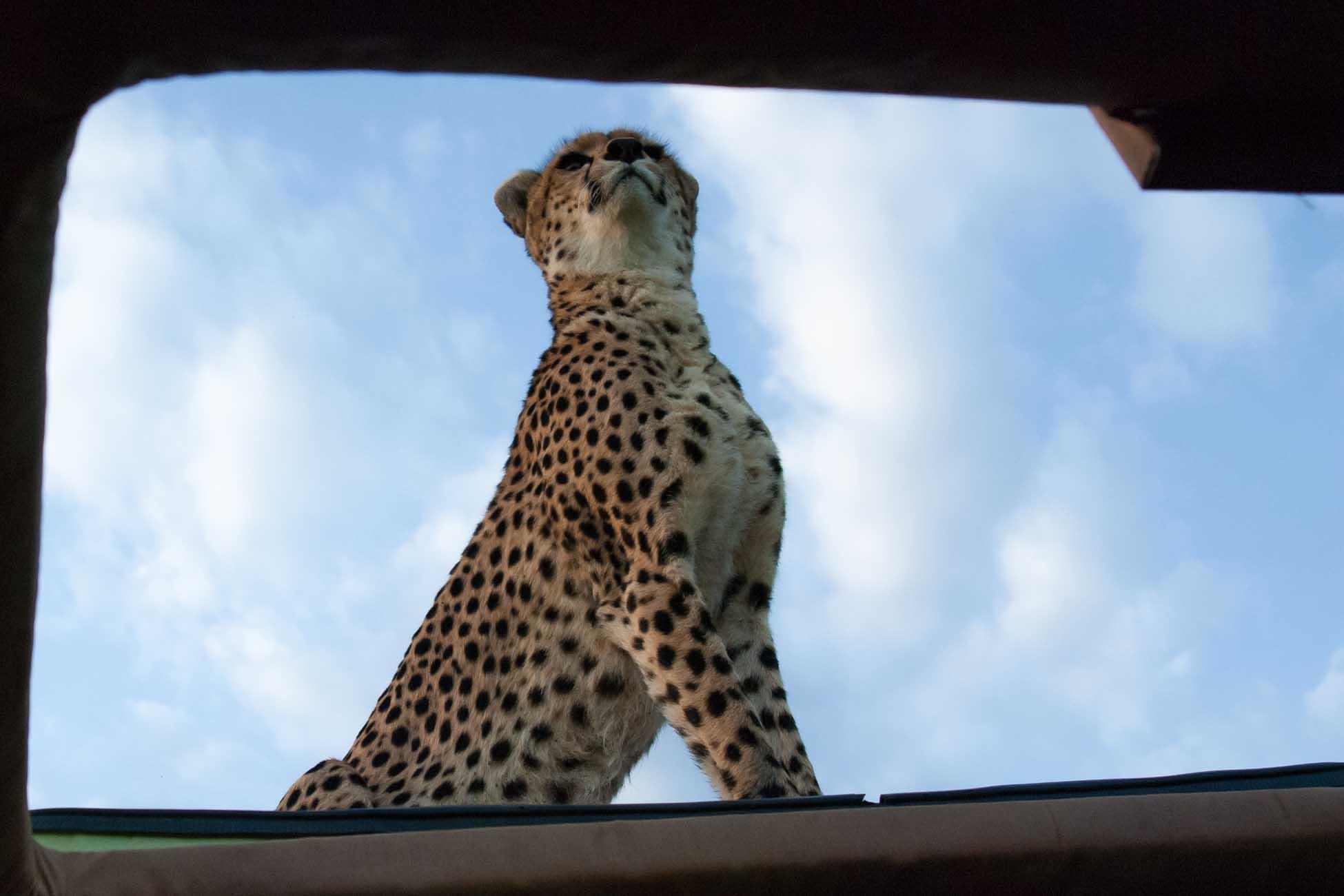 Gepard Maleika auf Autodach Kenia