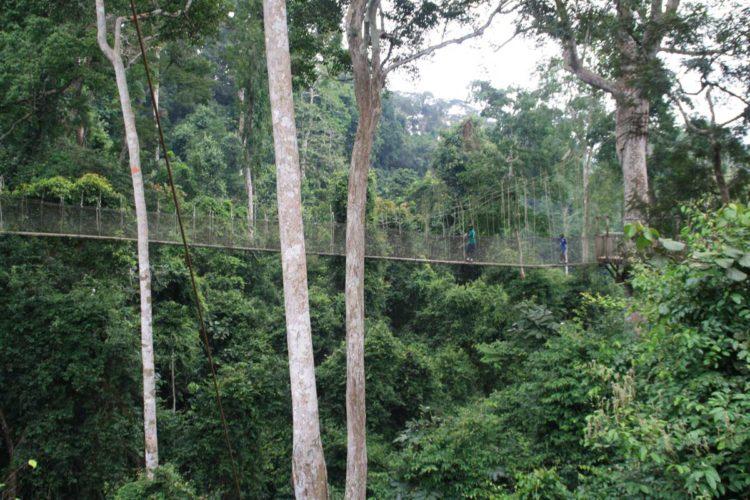 Der Canopy Walkway in Ghana