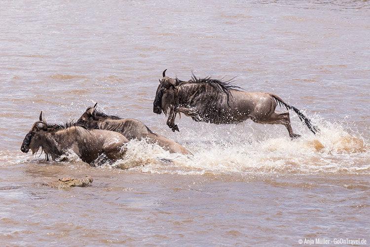 Ein Gnu springt kraftvoll durch den Mara Fluss, um dem Krokodil nicht zum Opfer zu fallen.
