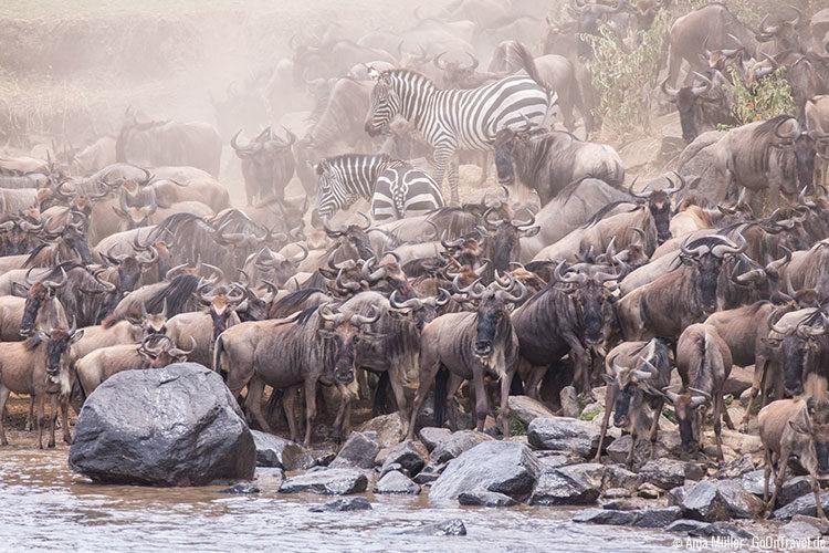 Gewussel am Mara Fluss mit Zebras und Gnus