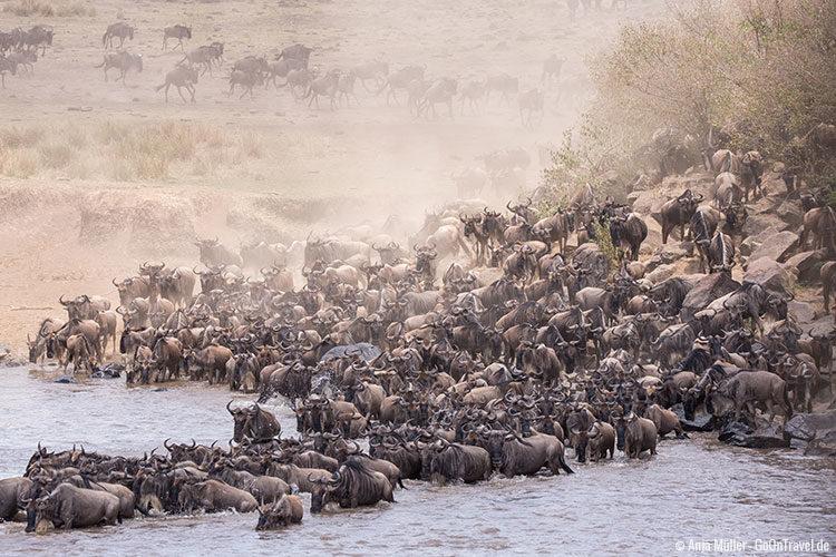 Hunderte Gnus drängeln sich um den Mara Fluss zu überqueren.