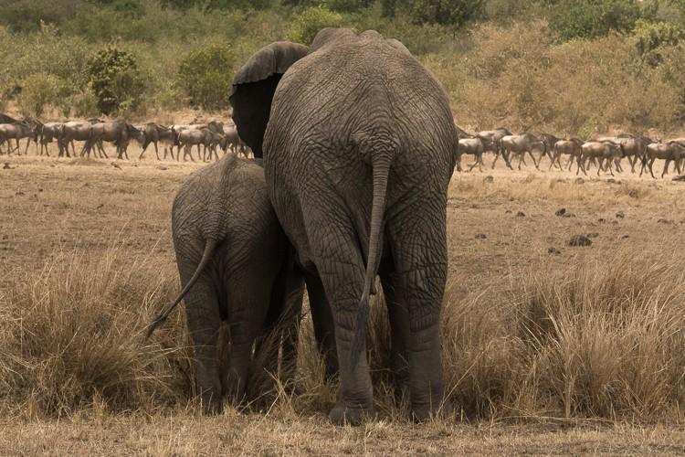 auf der anderen Seite des Flussufers bestaunen Elefanten die Gnuherden