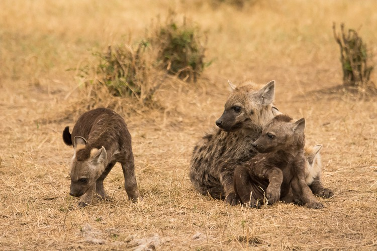 neugierige kleine Hyänen