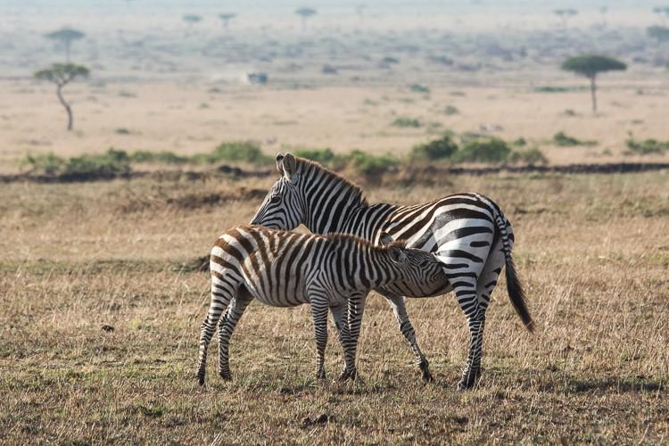 Zebrafohlen mit Mutter