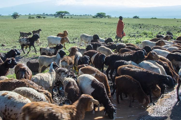 Maasaijunge und seine Schafherde im Schutzgebiet