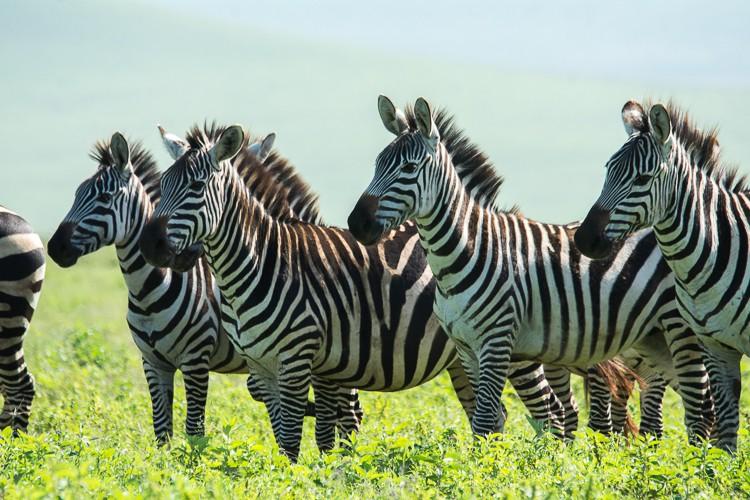 Zebras halten Ausschau nach Raubtiere