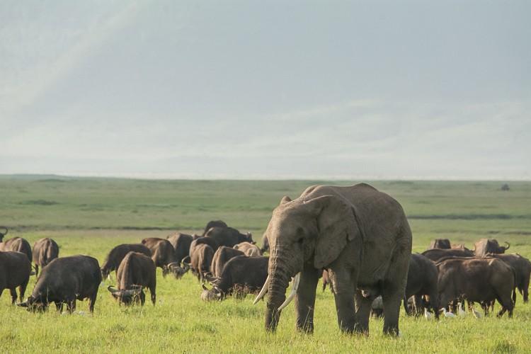 grasende Büffelherde mit Elefant