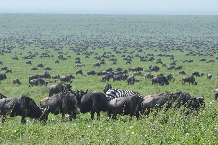 Gnus bis zum Horizont in der Serengeti