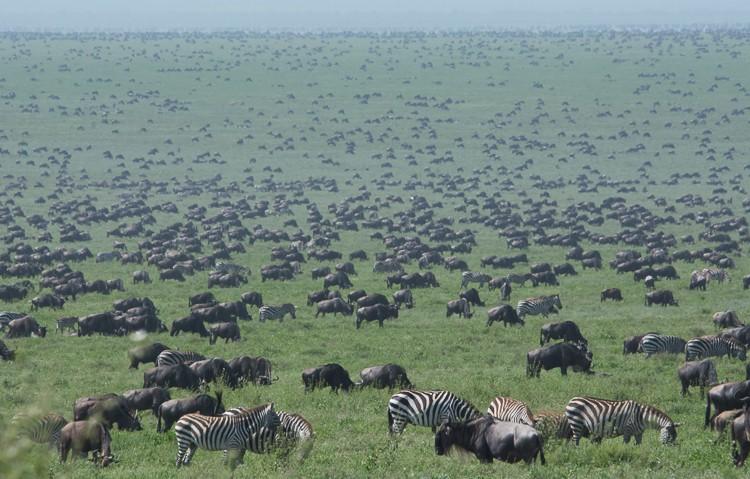 Tiere bis zum Horizont in der Serengeti