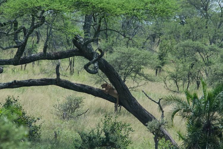 Baumlöwen in der Serengeti