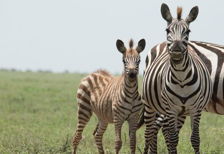 In der Serengeti kommen im Februar/März tausende Zebras zur Welt