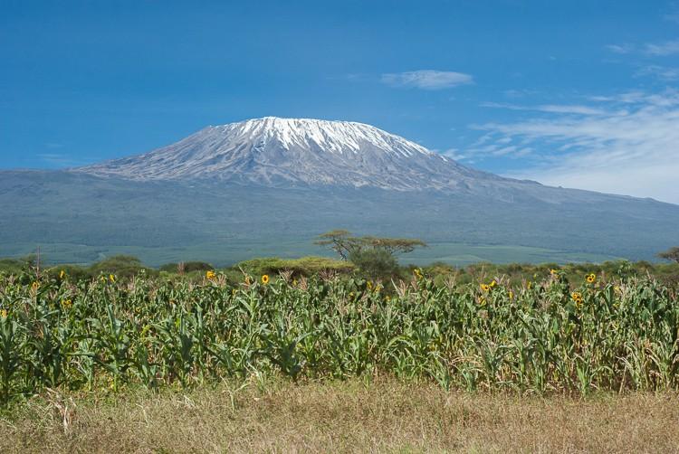 der Kilimanscharo im Sonnenblumenfeld