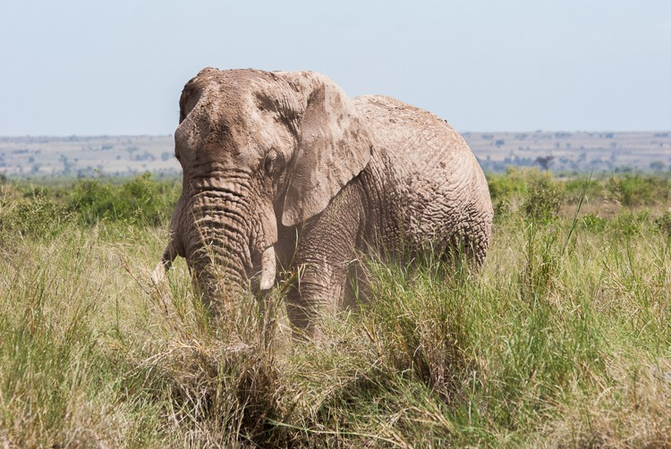 ein alter Amboseli Elefantenbulle