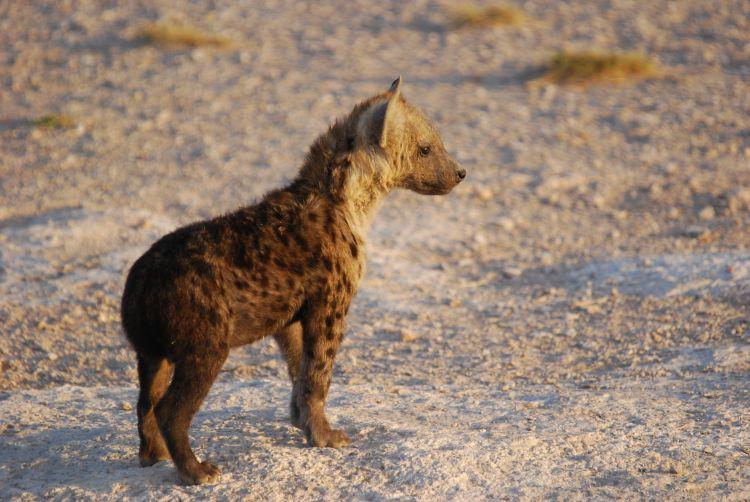 eine Mini-Hyäne