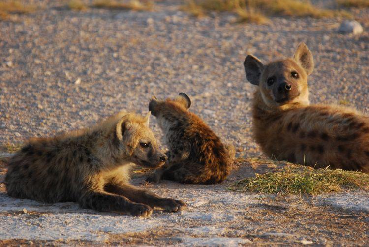 Hyänen im Morgenlicht