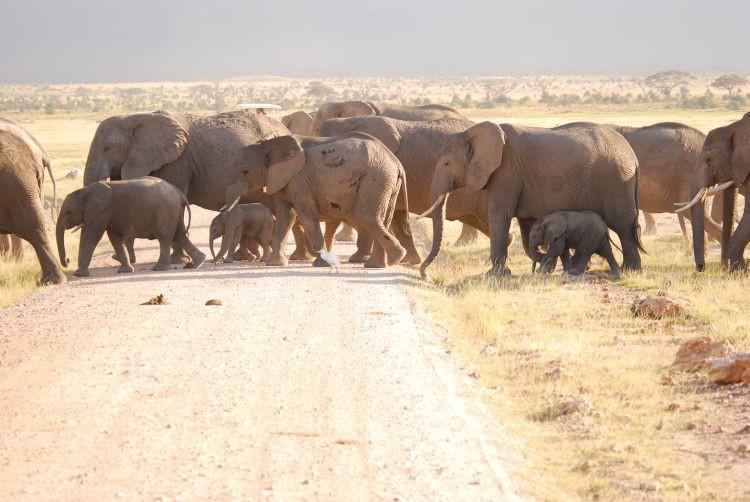 die Elefanten überqueren die Straße