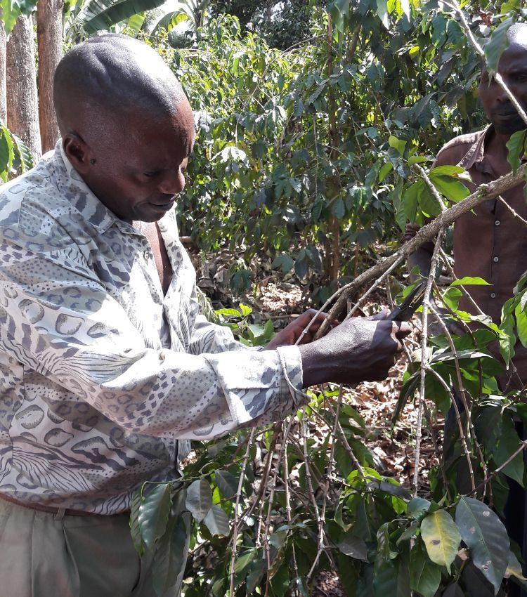 Justin kürzt die Triebe der Kaffeepflanze