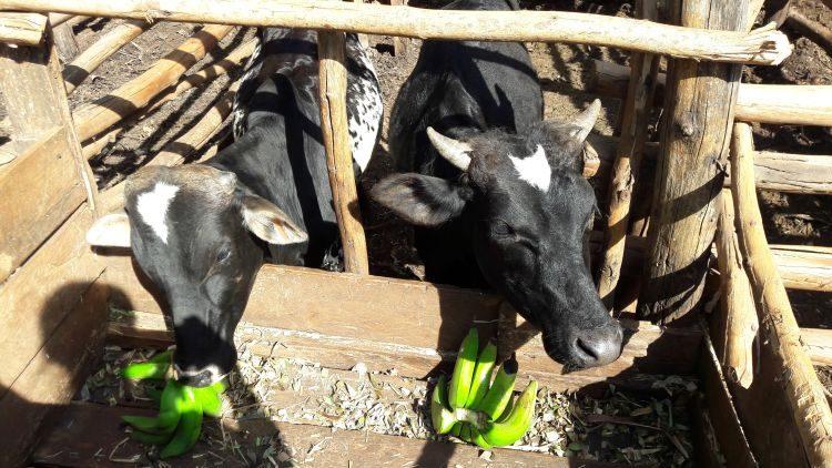 Kühe mögen Bananen!