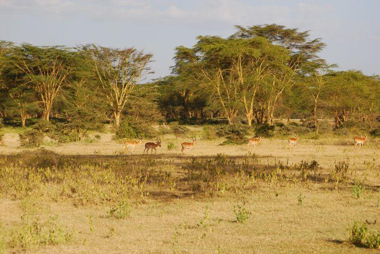 eine Gruppe Impala Antilopen