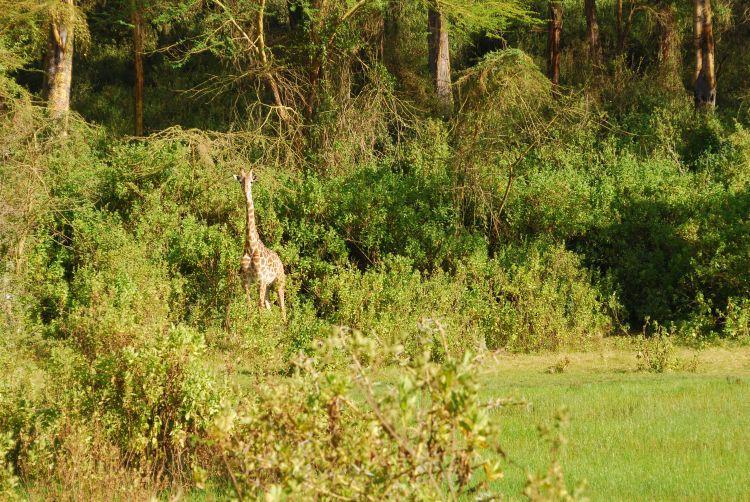 Giraffe am Ufer des Kratersees
