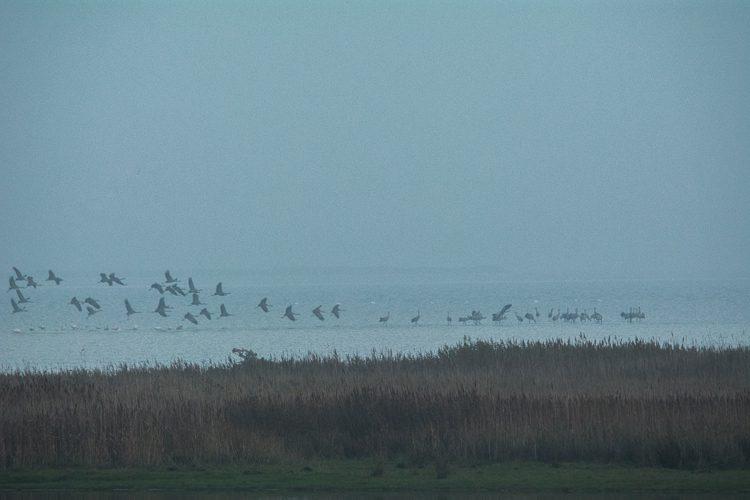 Kraniche landen im Ostseewasser