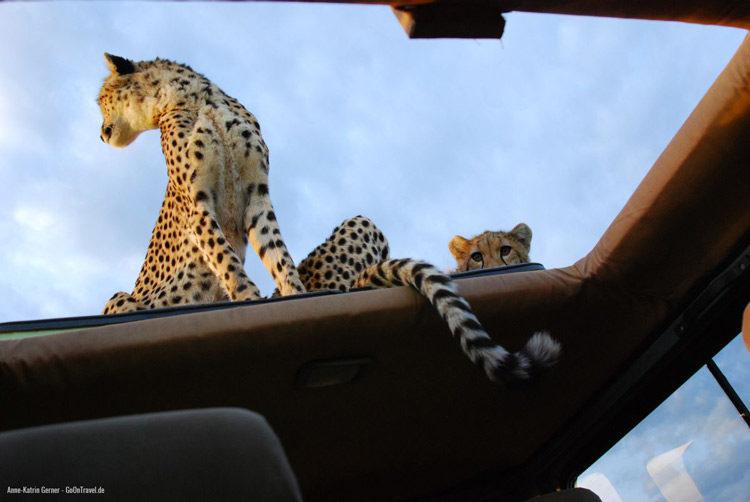 Maleika und ihr Jungtier auf dem Autodach