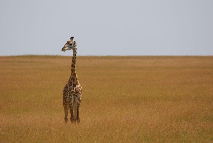 Giraffe in der Mittagshitze