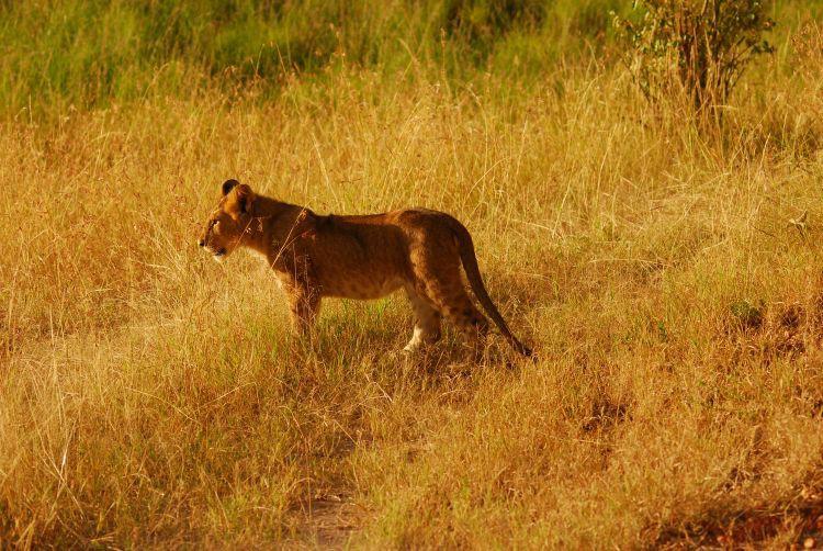 Neugieriger kleiner Löwe