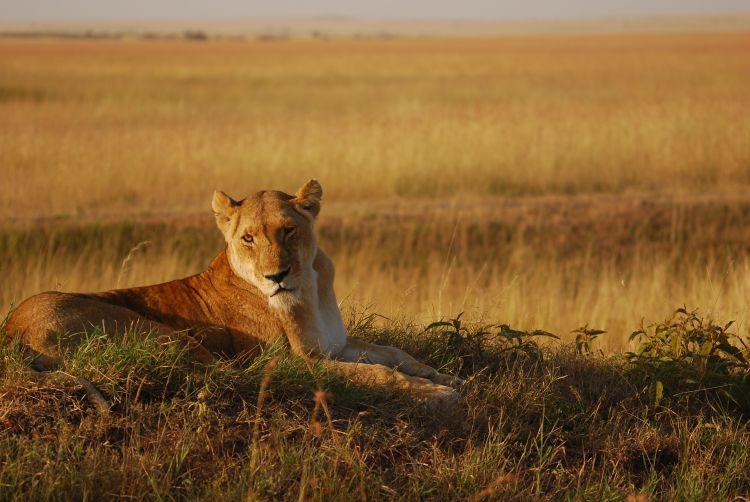 Löwin in der Morgensonne