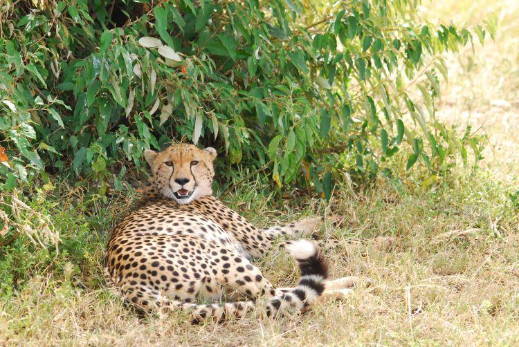 Gepard im Visier