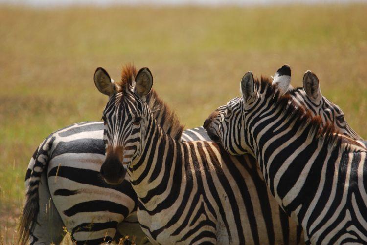 Zebras bei der gemeinsamen Fellpflege